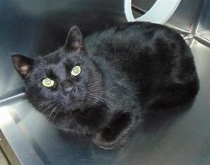 "Adult Male Cat - Domestic Short Hair: ""Baricade"""