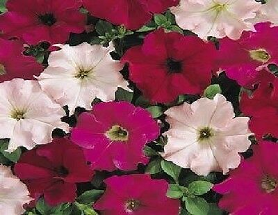 Flower - Petunia - Express Wild Rose Mixed F1 - 50 Pelleted Seeds ()