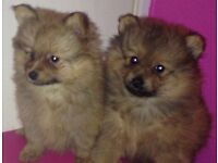 Miniature Pomeranian puppies ready now