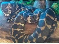 Cb 11 Irian Jaya carpet python