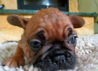 Purebred Red Fawn French Bulldog Puppies