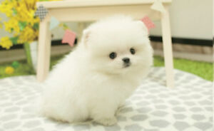 super rare❤teacup white Pomeranian puppy!~