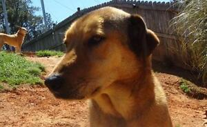 Shane is a 2 - 3 year old, male, flat coated collie mix.