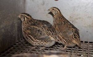 Quails (Japanese) x5 Lake Clifton Waroona Area Preview