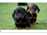 i sell my little dachund 850