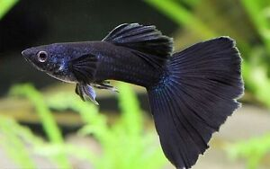 Rare Deep Blue/Purple Moscow Guppies high quality!! N Java Moss
