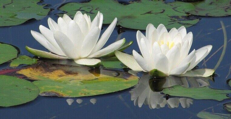 Teichpflanzen Set /& Seerose immergrüne Wasserpflanzenarten für den Gartenteich