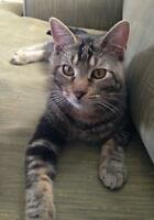 """Young Male Cat - Domestic Short Hair: """"Bentley"""""""