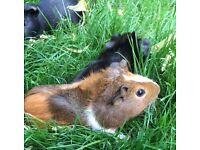 Beautiful Guinea Pigs for sale