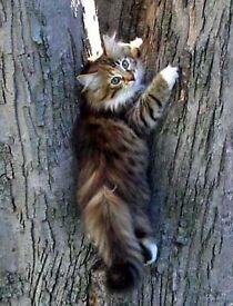Stunning main coon kitten