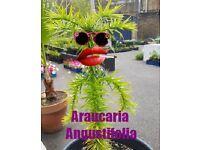 Araucaria Angustifolia cousin of monkey puzzle the candelabra tree