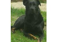 Unfortunately need to rehome a beautiful male rottweiler cross