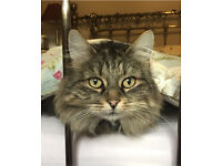 Long Haired Large Male Tabby Cat Lost Missing Heworth Area