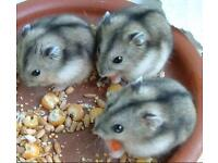 3 Russian dwarf hamsters