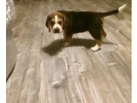 8 Week old male Beagle puppy