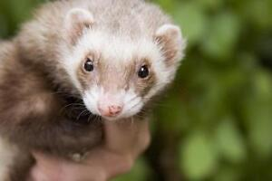 Wanted: ferret