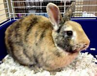 "Adult Male Rabbit - Bunny Rabbit: ""Sheldon"""