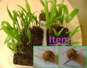 Acai Seeds Palm Euterpe Oleracea 10  DWARF Superberry Germinated Brazilian