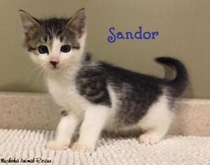 "Baby Male Cat - Domestic Short Hair: ""Sandor - Adorable Boy!"""