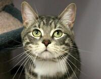 "Young Male Cat - Domestic Short Hair-Tabby: ""Brumby"""