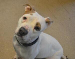 """Adult Female Dog - Pit Bull Terrier: """"Lily"""""""