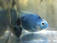 Blue Parrot Fish for sale - live tropical fish