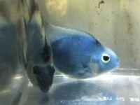 Blue Parrot Fish for sale live tropical fish