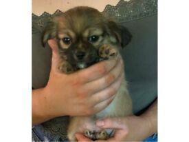 Chihuahua X shih tzus puppies
