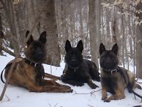 Dutch Shepherd and Malinois pups for sale