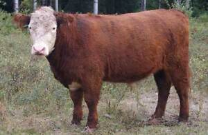 Steers for Sale
