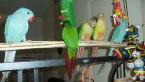 Certified Breeder, Lovebird, Cockatiel, Conure MTL City