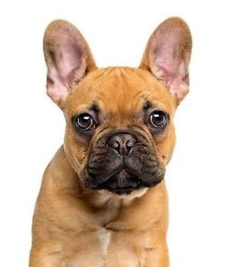 Wanting a French bulldog :) Glenfield Park Wagga Wagga City Preview