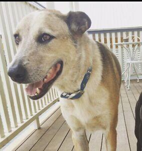 Carlos :) Male Kelpie x cattle dog - Giveaway/Free
