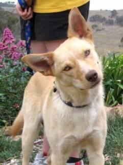 Want Kelpie cross Labrador puppy preferable Female Lilydale Yarra Ranges Preview