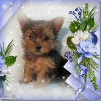 superbe chiot male yorkshire CCC