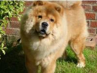 Chow Chow Dog For Sale To A Good Home