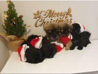 Lovely Pekingese dogs puppies