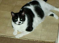 Black & White Female Cat - Missing since last yr.  Is it yours?