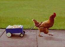 WANTED! Your unwanted Chickens, Ducks and other poultry animals Oakville Hawkesbury Area Preview