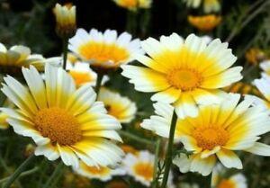 GARLAND DAISY FLOWERS 100 FRESH SEEDS FREE USA SHIPPING