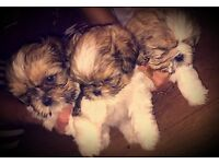Shih-tzu puppies sold pending collection