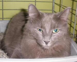 "Adult Female Cat - Domestic Long Hair: ""Ginx 16 (PN 152)"""
