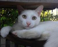 """Young Male Cat - Domestic Short Hair: """"Walter White"""""""
