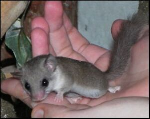 African pygmy dormice available