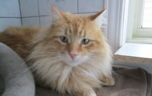 Orange long-haired adult male tabby to give away