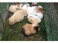Guinea pigs for sale