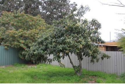 Loquat Tree Forrestdale Armadale Area Preview