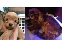 ***Cavapoo Puppies - DNA CLEAR****