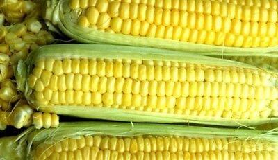 Kandy Korn Sweet Corn - Hybrid (se) Maize Vegetable Treated Seeds (¼oz to 8oz) - Kandy Korn