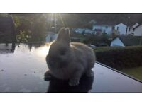 Pure Breed Netherland Dwarf Rabbit